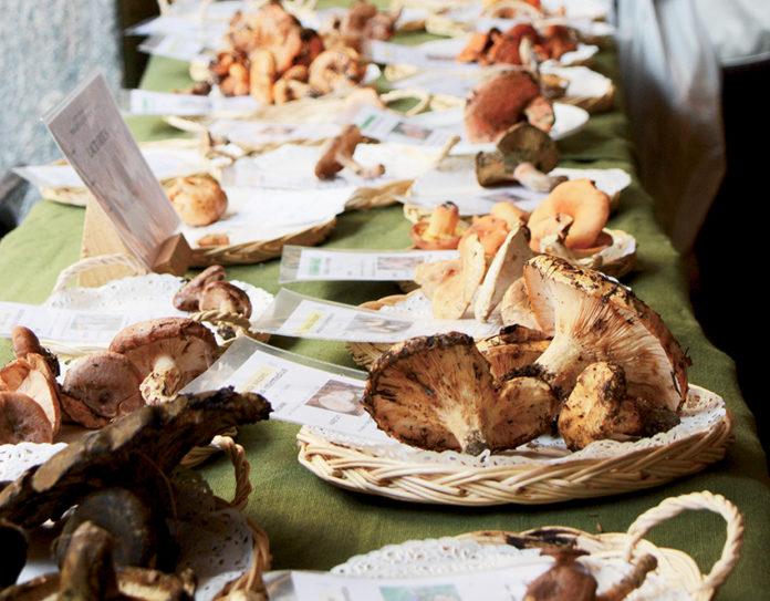 Mostra del fungo: Ceva si veste a festa