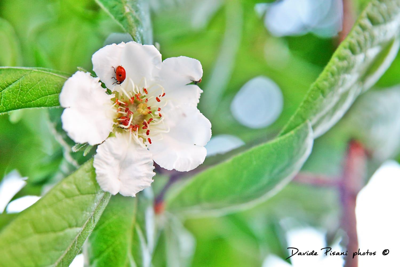 Combattere Afidi Delle Rose farigliano: coccinelle sugli alberi del centro per